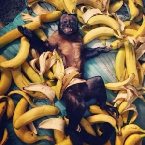 funny-monkey-living-the-dream-bananas